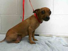 #A469686 Release 7/30  CAME IN WITH #A469687  I am a female, red Chihuahua - Smooth Coated. Shelter staff think I am about 7 years old. I have been at the shelter since Jul 23, 2014.   PETHARBOR: http://www.petharbor.com/pet.asp?uaid=SBCT.A469686...        City of San Bernardino Animal Control-Shelter. https://www.facebook.com/photo.php?fbid=10203141461754985&set=a.10201187177339096.1073741865.1160364024&type=3&theater