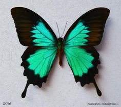 Papillio Ulysses Colorful Butterfly in Green Variations, Bright & Vivid on Gallery Quality Canvas Ar Quilling Butterfly, Butterfly Drawing, Butterfly Painting, Butterfly Crafts, Butterfly Wallpaper, Beautiful Bugs, Beautiful Butterflies, Butterfly Pictures, Green Butterfly