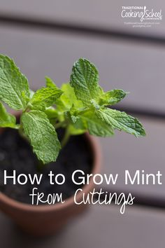 How to Grow Mint from Cuttings | Mint is easy to grow and hard to kill -- which makes it one of the best plants for a beginning gardener! You can buy a plant at the store or grow your own from cuttings. Here are two methods for growing your own mint from cuttings. | TraditionalCookin...