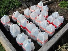 Winter early harvesting…Mini greenhouses made from upcycled milk cartons. Awes… - All For Garden Fruit Garden, Edible Garden, Garden Planters, Vegetable Garden, Organic Gardening, Gardening Tips, Milk Cartons, Indoor Greenhouse, Outdoor Fun