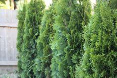 Evergreen Trees - Backyard Progress from The Inspired Room