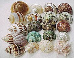 Hermit crabs need natural shells like this. Painted shells can poison the crab. Avoid painted shells, no matter how pretty they are.