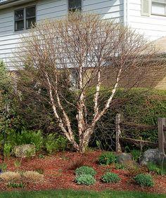 Photo #25787 | Betula nigra 'Little King' | plant lust hedge