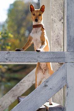Basenjis dog in autumn pavilion