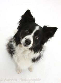 Photograph of Black-and-white Border Collie bitch, sitting and looking up. Rights managed white background Dog image. Perros Border Collie, Border Collie Puppies, Collie Dog, Border Collie Colors, White Border Collie, Cute Puppies, Cute Dogs, Dogs And Puppies, Doggies