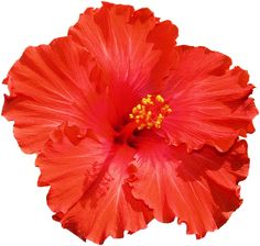 Hibiscus Free Images At Clker Com Vector Clip Art Online Royalty Hibiscus Clip Art, Hibiscus Flowers, Mexican Flowers, Free Photographs, Flower Clipart, Lilo And Stitch, Homescreen, Online Art, Hibiscus