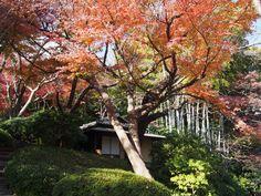 #momiji, #maple, #garden, #garden plant, #autumn leaves,