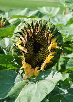 Three Dogs in a Garden: The University of Guelph Ornamental Trial Garden - Sunflower Helianthus Jua Maya