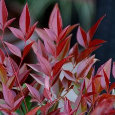 Buy heavenly bamboo Nandina domestica Obsessed ('Seika') (PBR) - Great for patio pots and shrub borders: pot Delivery by Crocus Red Shrubs, Small Shrubs, Evergreen Shrubs, Trees And Shrubs, Planting Shrubs, Planting Plan, Landscaping Plants, Garden Plants, Hydrangea Arborescens Annabelle