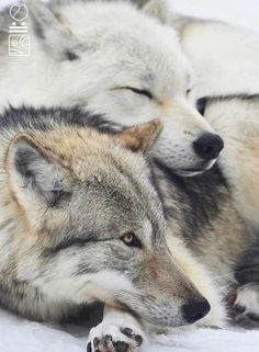 🐺If you Love Wolves, You Must Check The Link In Our Bio 🔥 Exclusive Wolf Related Products on Sale for a Limited Time Only! Tag a Wolf Lover! 📷: Please DM . No copyright infringement intended. All credit to the creators. Arktischer Wolf, Wolf Husky, Wolf Love, Wolf Pup, Wolf Photos, Wolf Pictures, Wolf Spirit, My Spirit Animal, Animals And Pets