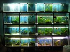 Have you heard of aquaponics? Aquaponics Combines the Growing of Fish and Plants You may grow plants in water and without soil and once one does this together with growing fish you are practicing aquaponics. Tropical Fish Aquarium, Freshwater Aquarium Fish, Betta Breeding, Aquarium Store, Fish Tank Design, Reptile Room, Fish Care, Fish Farming, Tanked Aquariums