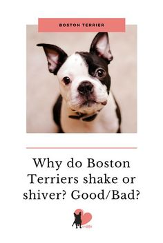 Why Do Boston Terriers Shake or Shiver? Good or Bad? #bostonterrier #bostonterrierfacts #bostonterriercare #bostonterrierhealth #bostonterrierbehaviour #bostonterriertemperament #owningabostonterrier #dogshaking #dogwiggling #dogshivering #dogbehaviour #dogfacts #dogfactsinteresting Boston Bull Terrier, Boston Terrior, Terrier Mix, Terriers, Dog Facts Interesting, Boston Terrier Temperament, Dog Shaking, Shelter Dogs, Animal Shelter