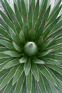 Agave ocahui var. ocahui (Ocahui Hardy Century Plant)