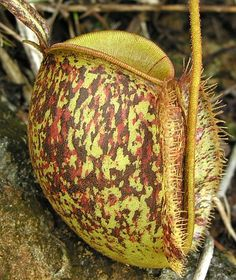 Nepenthes ampullaria tricolor pitcher plant graines