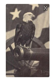 """""""Old Abe"""" was adopted as a mascot for Co. C 8th Wisconsin """"the Eagle Regiment"""". During battles, the bird would fly over the fighting and screech at the enemy. The Confederates tried in vain to capture or kill """"the Yankee Buzzard"""", knowing the impact it would be to its regiment. A replica of this brave eagle stands on display at the Wisconsin state capital."""