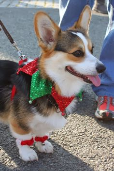 The Daily Corgi: Details on the #Corgi Corps contingent in the 2013 Middleburg, Virginia Christmas Parade!