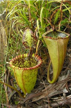 Giant, meat eating  carnivorous plant, discovered in the highlands of the central Philippines and named after famed broadcaster and naturalist Sir David Attenborough. Large enough to trap a rat!