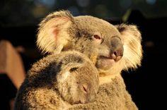 Pieni koalan poikanen halasi leikkattavana olevaa emoaan - katso suloiset kuvat