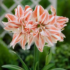 Amaryllis Dancing Queen, double, heavy blooms need staking.