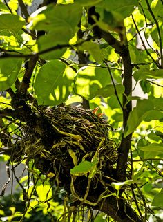 A baby robin in a nest in a quince tree. NYC. Photo: Randy Harris for The New York Times
