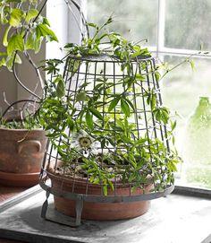 7 uncommon indoor plants, including this passionflower (Passiflora caerula). #gardening #houseplants