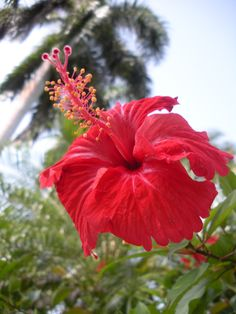 Jamaica flower. This beauty was everywhere!