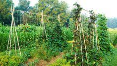 Simple Bamboo Trellis  http://www.rodalesorganiclife.com/garden/simple-bamboo-trellis