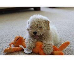 A Hungarian Puli puppy! :)