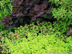 Cotinus coggygria 'Velvet Cloak' with Oxalis tetraphylla 'Iron Cross' and Origanum vulgare 'Aureum'