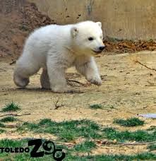 Twin Polar Bear cubs were born at the Toledo Zoo on November but they've been behind the scenes with their mother Crystal until last week, when they stepped outdoors for a sneak peek. The cubs, who have not yet. Cute Tiger Cubs, Cute Tigers, Polar Bear Video, Cute Baby Animals, Funny Animals, Columbus Zoo, Arctic Animals, Wild Animals, Baby Polar Bears