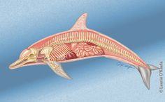 Dolphin internal anatomy. Art by Laurie O'Keefe
