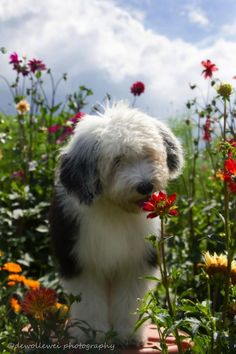 Old English Sheepdog pup. I've always loved these.