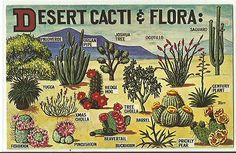Sonoran Desert cacti Flora USA Postcard | eBay