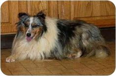 Jack II's Info... I am already neutered, purebred, up to date with shots, good with dogs, and good with cats. Jack II's Story... Jack is a neat, blue merle boy whose date of birth is 8/10/03. He is in rescue because a breeder is reducing the number of dogs in his kennel. He is neutered, up to date on vaccinations and micro chipped. He is making great progress in house training and socialization. He is a bit shy but you can pet him and he really enjoys it He would make someone with the ...