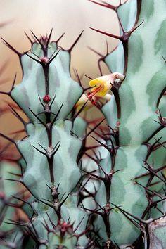 Euphorbia Greenwoodii