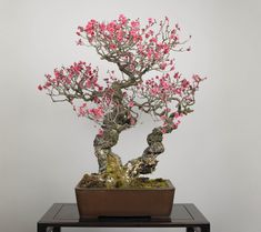 Great Japanese cherry blossom Bonsai is bloomed in april | SEKAI BONSAI
