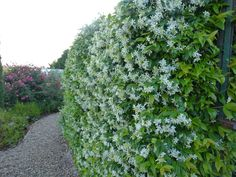 Trachelospermum jasinoides, hides the gas bottle from the vegetable garden, and its scent fills the air all around the garden Hedges, Trachelospermum Jasminoides, Pool Images, Pool Picture, Living Fence, Garden Edging, Bonsai Garden, Landscaping Plants, Back Gardens