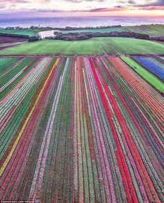 Amazing drone shot of the tulip fields in Tasmania, Australia Tasmania Road Trip, Tasmania Travel, Perth, Beautiful World, Beautiful Places, Birds Eye View, Australia Travel, Queensland Australia, Western Australia