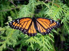 monarch on cedar tree