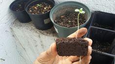 Baby plant Lemon Green.