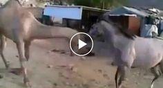 Cavalo e Camelo Têm Encontro Emocionante Depois De Terem Sido Separados http://www.funco.biz/cavalo-camelo-encontro-emocionante-depois-de-terem-sido-separados/