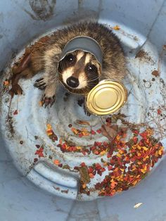 young raccoon in a can, in a can