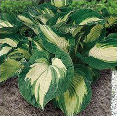 Hosta 'Golden Meadows'
