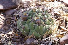 https://flic.kr/p/PfKGgC | Gymnocalycium saglionis RB3171 | Gymnocalycium saglionis RB3171 - Quebrada de las Conchas - südwestl. Alemania, Salta 1250m