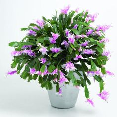 Christmas cactus -- it can grow on you in more ways than one.