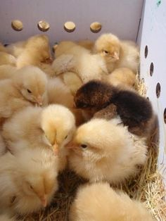 Our girls came in a box just like this. Now, one of our cluck clucks couldn't even fit in it!