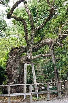 A sure way to keep that old tree upright.  Kyoto, Japan