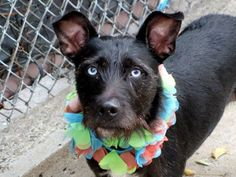 SAFE --- Manhattan Center   XENA - A1018906   FEMALE, BLACK, AIREDALE TERR MIX, 3 yrs STRAY - EVALUATE, NO HOLD Reason STRAY  Intake condition EXAM REQ Intake Date 10/27/2014, From NY 10459, DueOut Date 10/30/2014,  https://www.facebook.com/photo.php?fbid=896645417015005