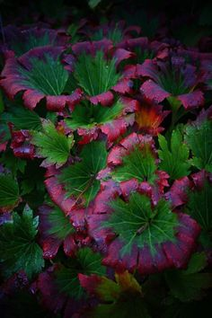 """Mukdenia 'Karasuba' is a """"must-have"""" for the shade garden with these ruffled leaves and red edges that seem to glow in the morning light."""