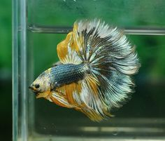 betta, i think the color is called mustard gas marble Colorful Fish, Tropical Fish, All Animals Pictures, Fantail Goldfish, Betta Fish Types, Betta Tank, Carpe Koi, Fish Wallpaper, Beta Fish